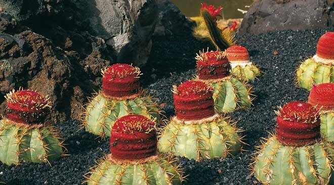 Cactus With Red Flower On Volcanic Soil In The Cactus Garden. Guatiza,  Teguise,