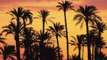 A silhouette of palm trees at dusk, in the Palmeral de Elx-Elche Palm Grove, Alicante – Alacant © Turespaña