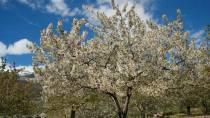 Cherry tree in bloom in Jerte Valley © Junta de Extremadura